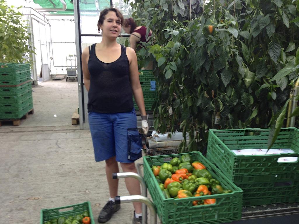 Une étudiante récolte les poivrons. Culture hors sol