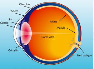 Toute la rétine est importante pour une bonne vision mais la petite région centrale appelée macula est cent fois plus sensible que les régions périphériques.