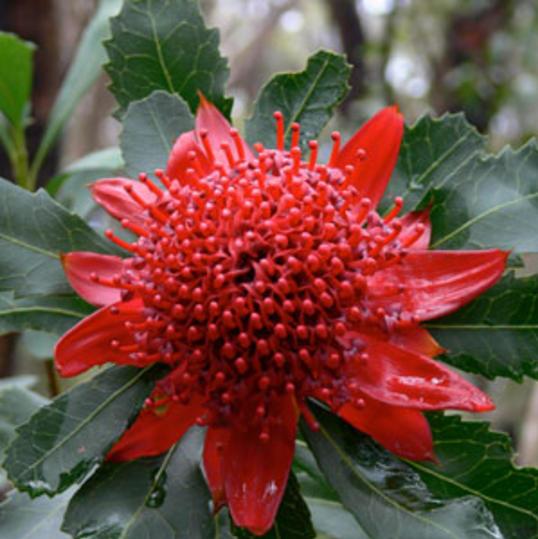 Très ancienne (elle remonterait à 6 millions d'années), elle est l'emblème des fleurs du bush australien. Elle est connue pour sa capacité à aider les gens à surmonter leurs difficultés, leur désespérance. Elle permettrait de retrouver ténacité et endurance lorsque l'on perd nos forces.
